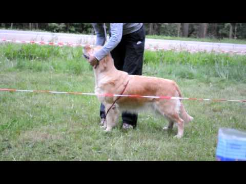 Golden retriever show training. Show stance/Шоу подготовка ретривера