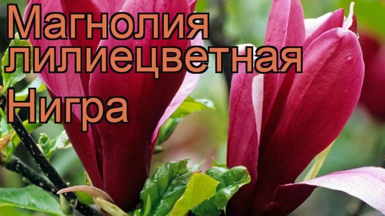 Магнолия лилиецветная Нигра (magnolia liliiflora nigra) 🌿 обзор .