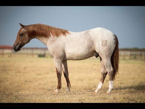 AUCTION: Yearling Metallic Cat stallion