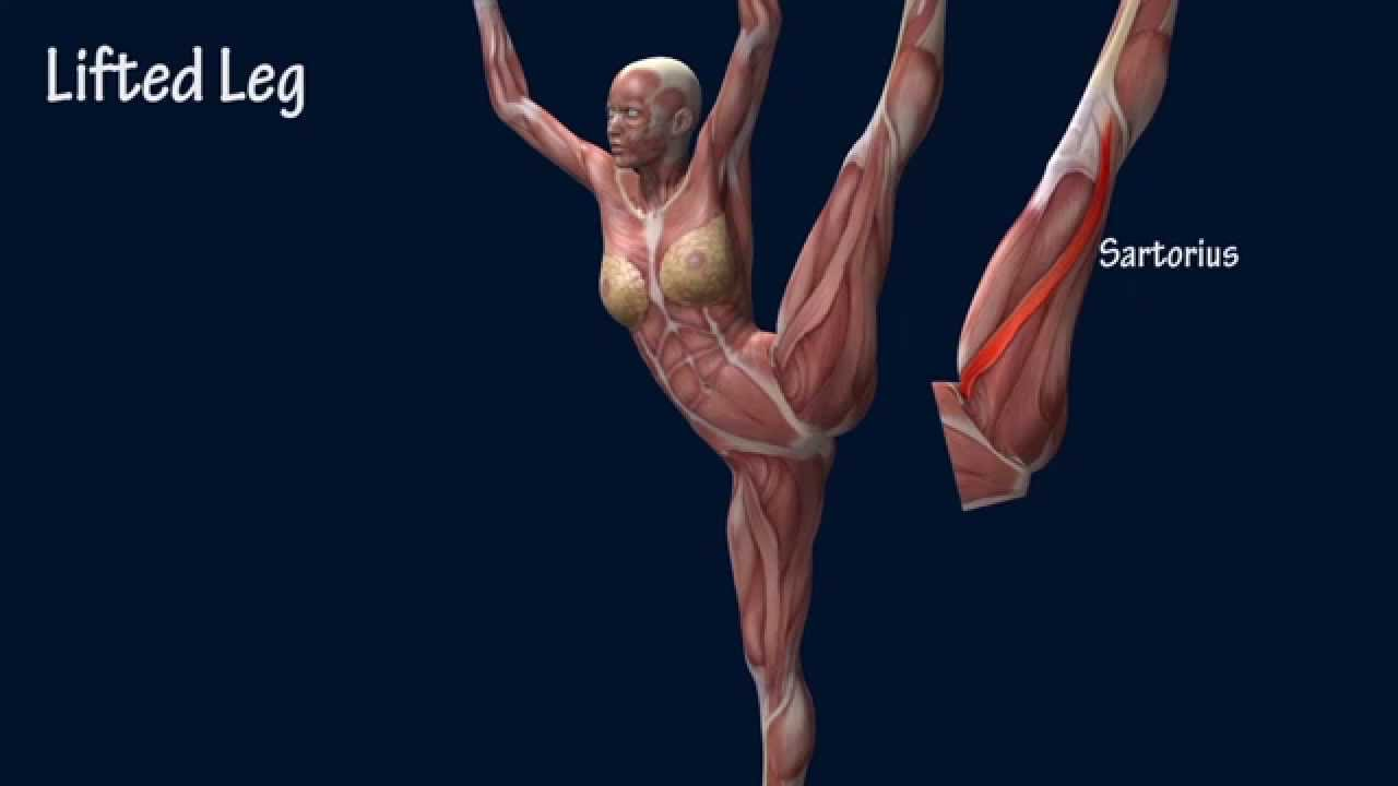 Developpe A La Seconde Ballet Muscle Anatomy EasyFlexibility - YouTube
