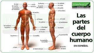 El Cuerpo Humano Y Sus Partes En Español Con Fotos Parts Of The Body In Spanish
