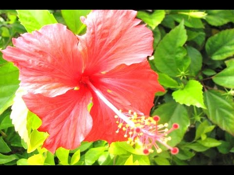 Download 77+ Gambar Bunga Sepatu Hd HD Paling Keren