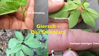 Survival Pflanzen: Der Giersch