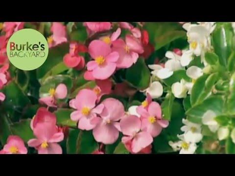 Burke's Backyard, Begonias