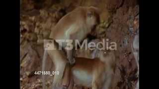 ジャングルで交尾をするサル:Monkeys mate in the jungle. Contact T3M...