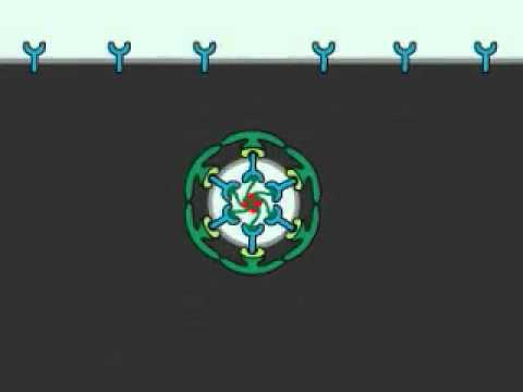 Receptor-Mediated Endocytosis.flv