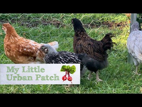 Caring for your backyard chickens