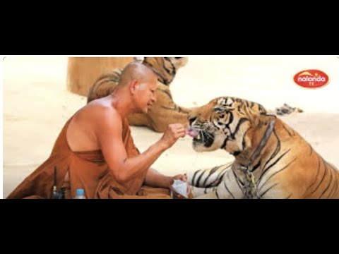 TIGER TEMPLE : THAILAND [Theravada Buddhist Temple]