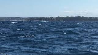 一生忘れられないに決まってる!ザトウクジラの華麗なるジャンプはこのあとすぐ!