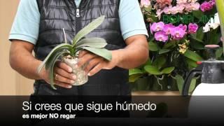 ¿Cómo y cuándo regar tu orquídea?