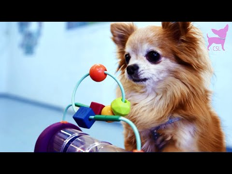 Cute Chihuahua Dog Tricks With Tunnels and Toys