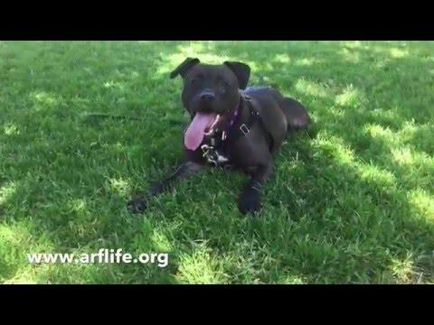 Priscilla, Pit Bull/Labrador Retriever mix