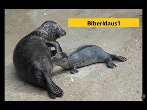 Seehund Mutter ... Seehund