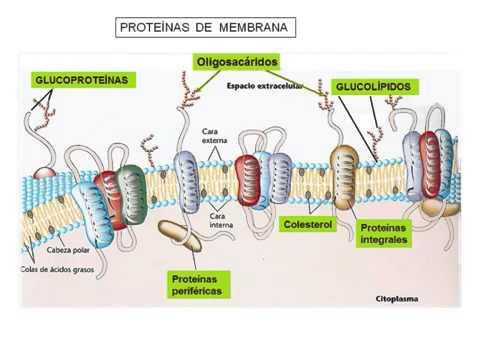 Composicion Y Estructura De La Membrana Plasmatica 360p