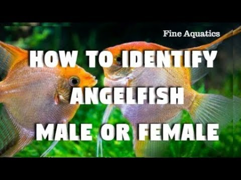 How To Tell The Difference Between Male & Female Angel Fish