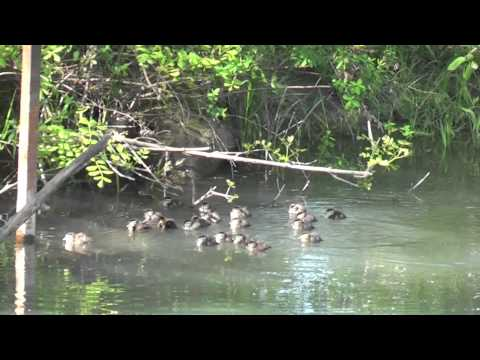 23 Wood Duck Babies jump from box.