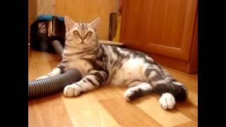 Продается британский мраморный котик 5 мес