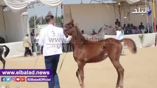 120 حصانا يشاركون في مهرجان الشرقية للخيول العربية .. فيديو وصور