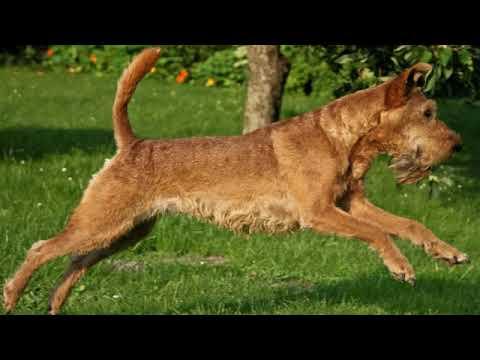 Irish Terrier - medium size dog breed