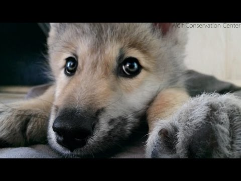 Wolf Pup Will Hiccup Its Way Into Your Heart