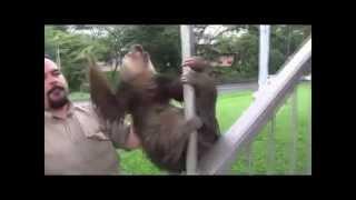 Ленивец орет матом.
