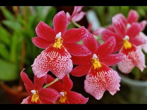 Пересадка Орхидеи Burrageara (Буррагеара) или Камбрия. Пересадка Miltonia (Мильтония)