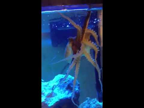 Saltwater fish tank octopus youtube for Octopus fish tank