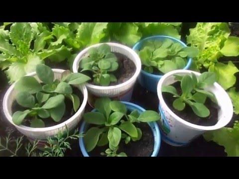 Выращивание рассады петунии после пикировки на подоконнике и в теплице