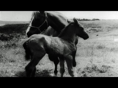 HD Stock Footage Marine War Horse Gives Birth to New Colt 1957