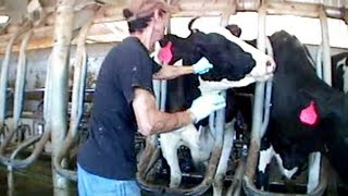 Burger King Cruelty - Video Exposes Horrific Animal Abuse at a Burger King Dairy Supplier