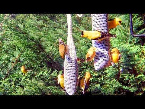 American Goldfinches Feeding on Finch Socks