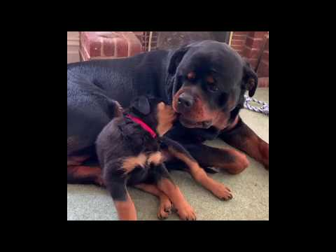 Rottweilers are literally the best