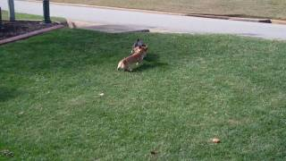 Corgi Bothers 02 - Playing outside at 7 months