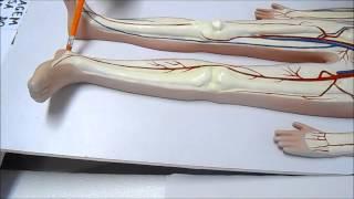 Perna dvta anatomia veia da