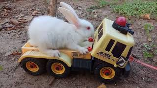 Bermain kelinci naik mobil | PLAYING WITH RABBITS | chơi thỏ