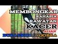 Rawatan Kacer Agar Cepat Ngobra Dan Buka Ekor  Mp3 - Mp4 Download
