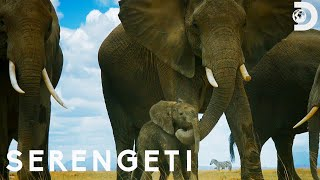Elephant Herd Protects Their Baby from Lions  | Serengeti