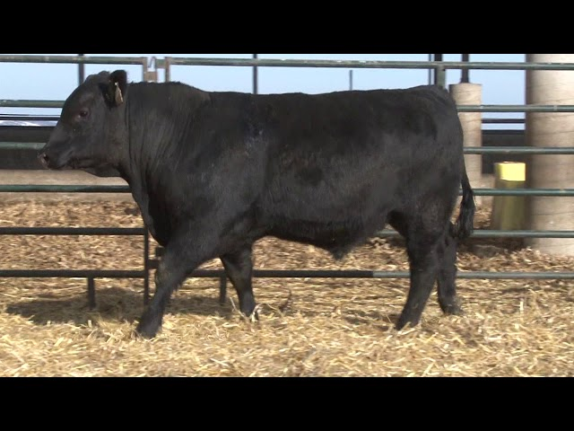 Schiefelbein Angus Farms Lot 118