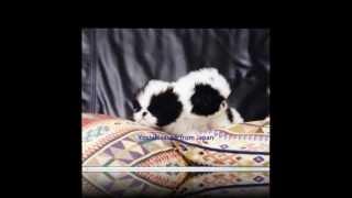 SINCE 1973 Yoshihisasow Japanese Chin. Ancestors dog of my breeding...