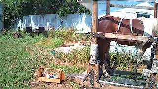 Training a problem horse to stand with feet tied up in a shoeing stock