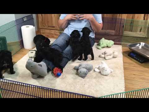 Anna's miniature Schnoodle puppies  October 29th, 2019