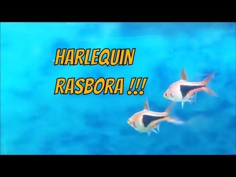Harlequin Rasbora Care Guide - How To Tell Its Gender, Tank Mates, Feeding And Breeding Tips