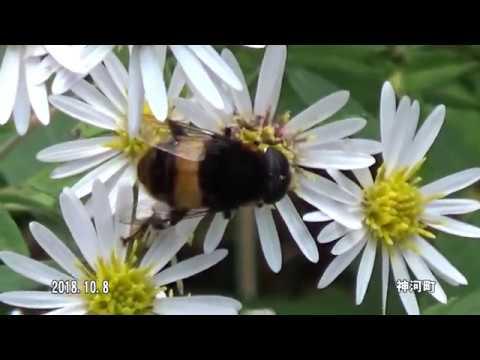 30秒の心象風景12790・花から花へ~オオハナアブ~