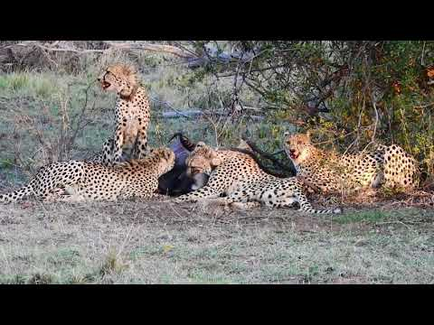 A CHILLING CHEETAH FAMILY KILL. If you a very sensitive person DO NOT WATCH ANY FURTHER.Most people