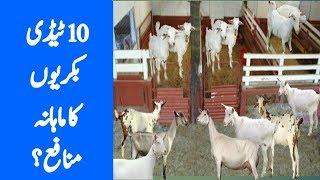 Taddy Goat Farm | taddy goat farm in Pakistan | best Goat