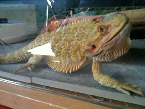 Bearded Dragon puffing and hissing - YouTube Full Grown Bearded Dragon Next To A Ruler