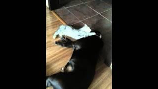 Шотландская кошка и бультерьер. Друзья навеки.Часть 1