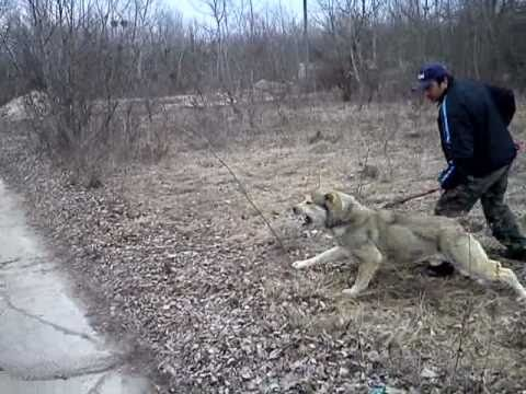 Central Asian Shepherd Dog Courage Test