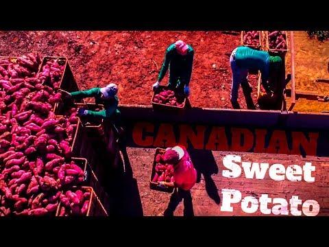 sweet-potato-fresh-quality-brazil---batata-doce-fresh-quality-brasil
