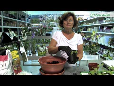 Pomidorų daigų persodinimas | Augink lengviau!